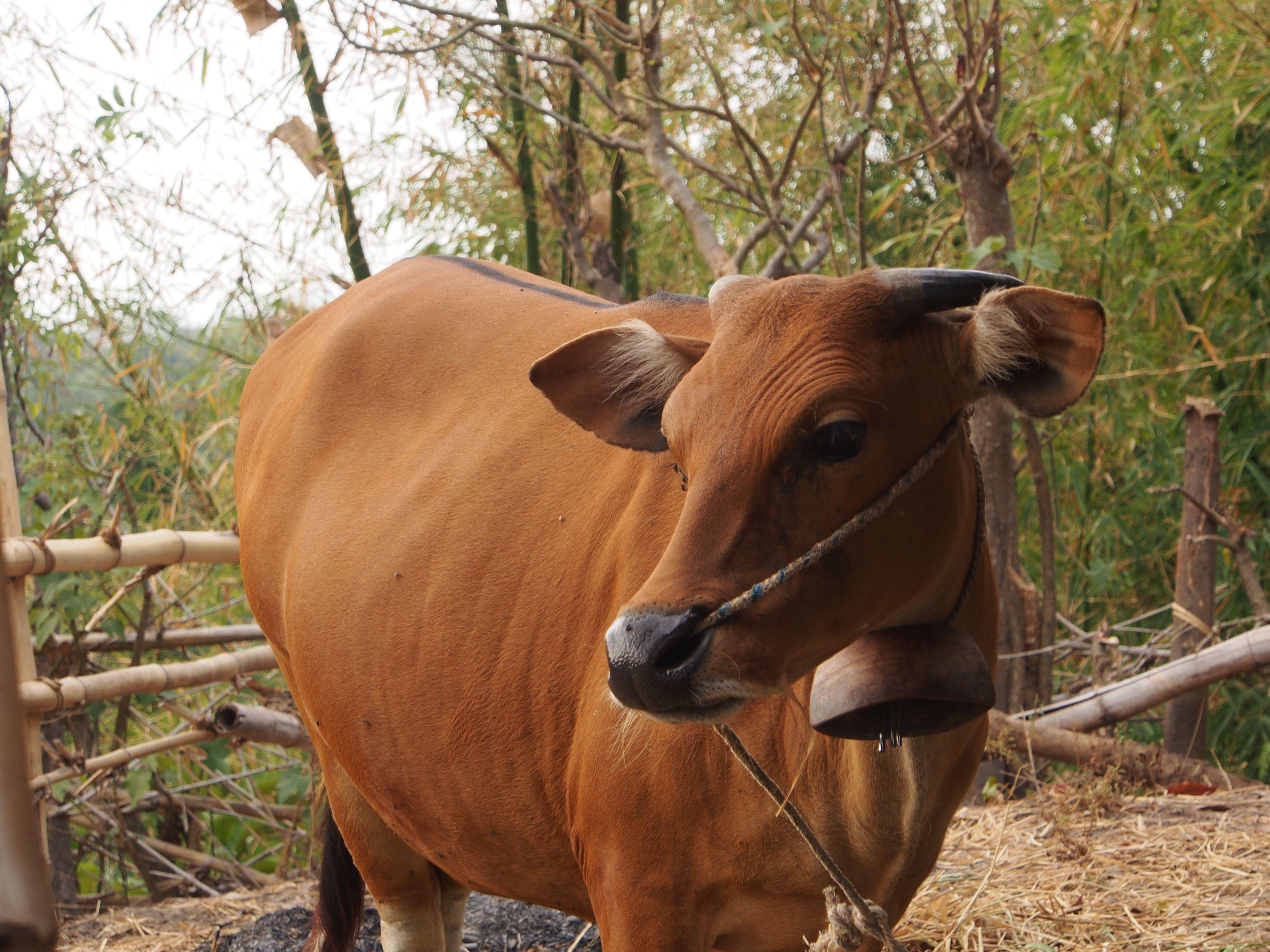 cow lombok